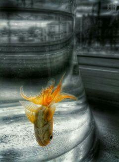 goldfish fish petsandanimals colorsplash