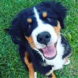 bernesemountaindog dog puppy boy
