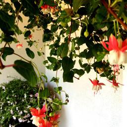 flowers hangingflowers nature
