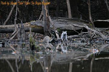 bayoukayaker raccoons nature